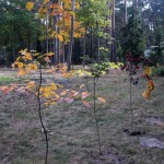 Drzewo (10)